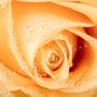 Rosenblüten-Blätter Nr.0413