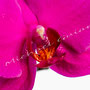 Orchidee Nr.0619