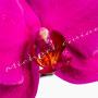 Orchidee Nr.0619