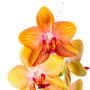 Orchidee Nr.0651