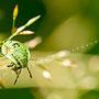 Grüne Stinkwanze Nr. 0438