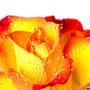 Rose 216