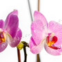 Orchidee Nr.0657