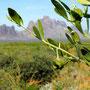❦ 原種ホホバ(純粋種Sayuri原種ホホバ)with Orange Desert Globemallow, Desert Marigold Native Wildflower and Brittlebush. アリゾナ州ハクアハラヴァレーにて
