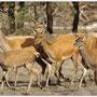 Edelhert - Cervus elaphus - Red deer