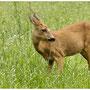 Ree - Capreolus capreolus - Roe deer