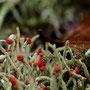 Rood bekermos (Lucifermos) - Cladonia - Perforate cladonia