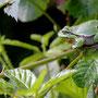 Boomkikker - Hyla arborea - Tree Frog