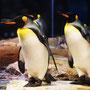 Pinguinos en Cautiverio Selwo Marina ; Benalmadena, Malaga