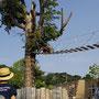 円山動物園 レッサーパンダのハシゴ渡り
