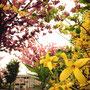 レンギョウと八重桜