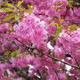 今年もキレイに咲きました、まるでぼんぼりの様
