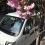 会社前の八重桜