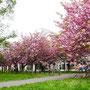 北海道大学構内の桜