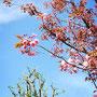 満開を目前にした八重桜