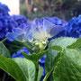 7月末 青紫色の紫陽花
