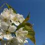 Süßkirsche in voller Blüte