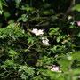 Meine Wildrosen - wilde Schönheit