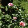 Rose Pirouette (das, was nicht abgenagt wurde ...)