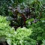 Salat, Mangold und Petersilie