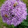 Bienenmeeting auf dem Allium
