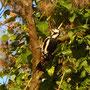 ... der Buntspecht den Baum, ...