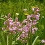 Hasenglöckchen - dieses Exemplar blüht rosa