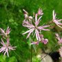 Kuckuckslichtnelke (Lychnis flos-cuculi - was für ein süßer Name)