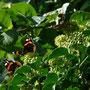 Insgesamt waren da sicherlich 15-20 Schmetterlinge und Hunderte Bienen