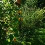Die Kapuzinerkresse leuchtet im lichten Schatten