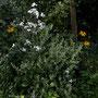 Schafgarbe mit Sonnenhut und wild wachsender Wiesenkerbel