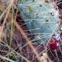 Cactus vijgen ...