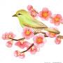 ウグイスと梅の花イラスト 透明水彩