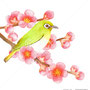 メジロと梅の花イラスト 透明水彩