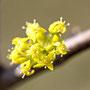 Blüte Dirndlstrauch