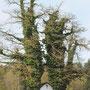 Baum mit Efeu bewachsen - Geretsberg