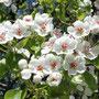 Mostbirnblüte