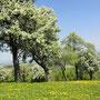 Mostbaumblüte
