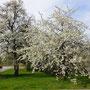 Baumblüte im Mostveirtel