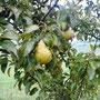 Eigene Birnen am Baum