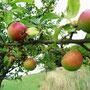 leckerer Apfel am Baum