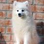 Японский шпиц, щенок