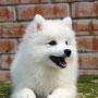 Японский шпиц, щенки, Красноярск, japanese spitz, puppy