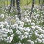 Fruchtendes Scheidiges Wollgras (Eriophorum vaginatum).