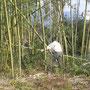 強風で竹が倒れたのでその整理を!!