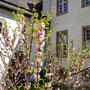 Der Mandelbaum blüht. Foto: Jennifer Peppler