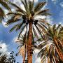 Palmeto di Figuig, Marocco