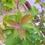 ヒメリンゴの若葉