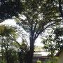 実家前の欅の老木