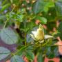 開きかけた薔薇のつぼみ